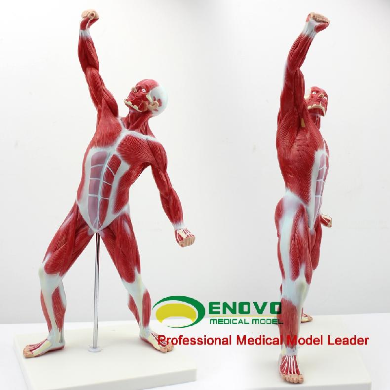 Venta al por mayor cuerpo humano musculos-Compre online los mejores ...