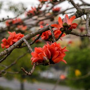 Bombax Ceiba Seeds Fresh And Natural Wholesale Cotton Tree Seeds