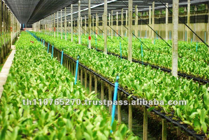 Bb Orchid Nursery Cattleya Seedling Farm Thailand Product On Alibaba