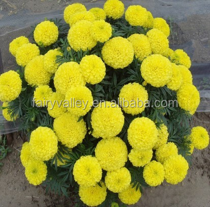 Flower seeds hybrid f1 orange gold yellow marigold seeds for how to grow marigold flowers mightylinksfo