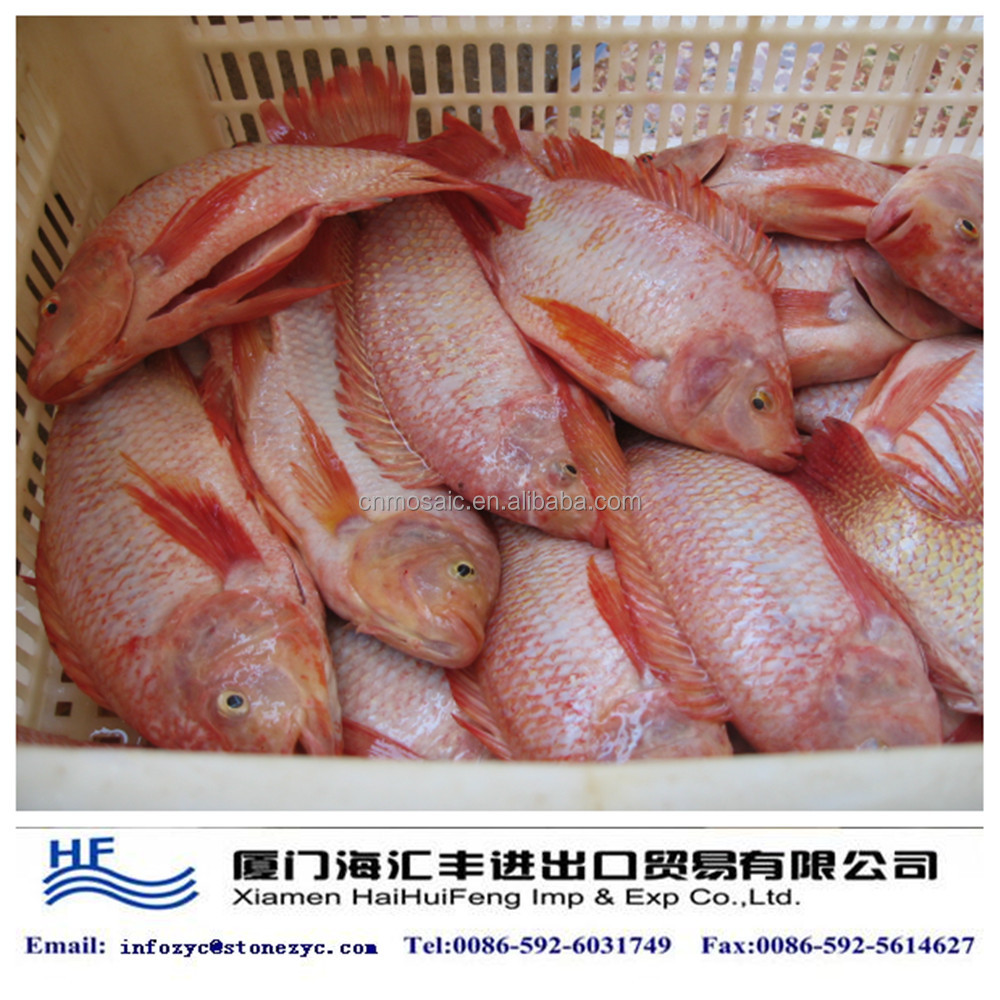 Live Red Tilapia Fish