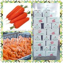 NEW CORP DELICIOUS FRESH CARROT FOR SAIDI ARAB