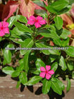 Catharanthus roseus roots