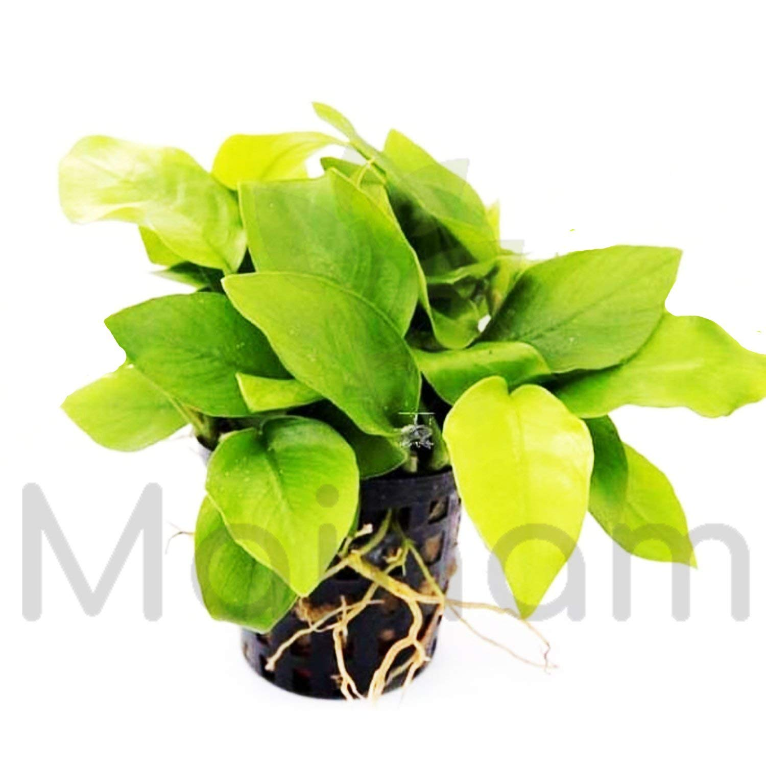 Mainam Anubias Nana Golden Leaves Potted Freshwater Beginner Live Aquarium Decorations Plants For Fish, Shrimp and more