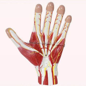 Human Medical Anatomical Hand Internal Structure Model Buy Human