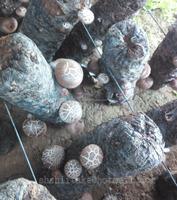 Shiitake Mushroom Logs Growing Spawn Shiitake Mushroom Kits For Sale