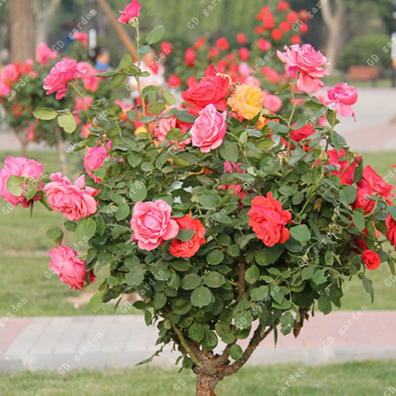 Online Buy Wholesale giant rose from China giant rose