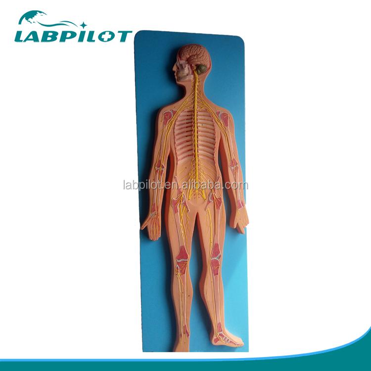 Central Nervous System Modelanatomical Nervous System Model