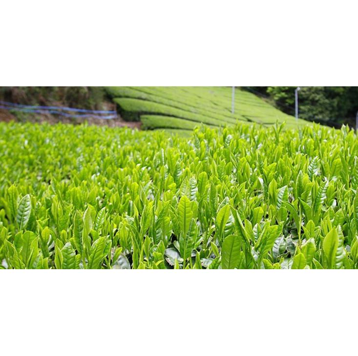 Ready To Ship Certified USDA Organic Matcha Green Tea Powder for Beverage Use - 4uTea | 4uTea.com