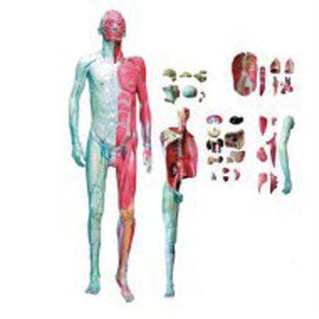 Bix A1028 Human Full Body Layer Dissection Anatomical Model With