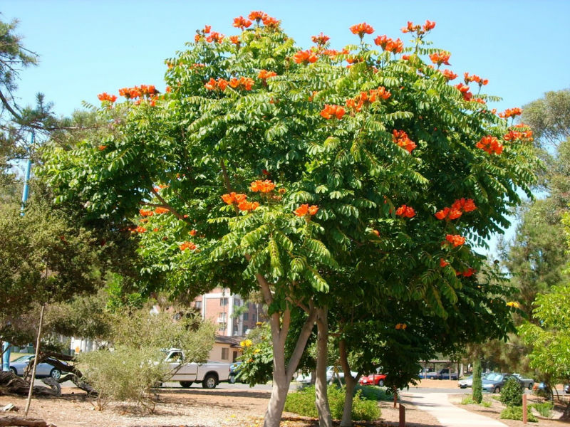 Spathodea Campanulata (s.nilotica) Seeds,Fountain Tree,African ...