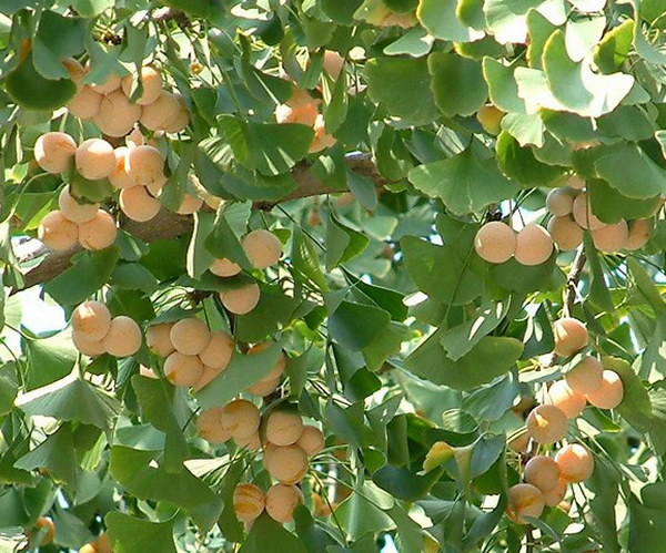 Bai Guo Popular Good Quality Fresh Raw Ginkgo Nuts In Shell