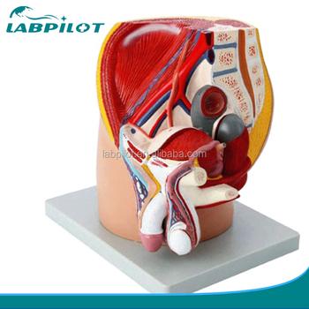 4 Parts Median Sagittal Sectioned Pelvis Modelanatomical Male