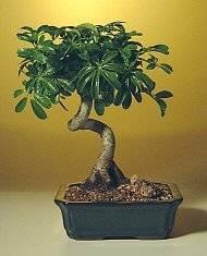 Hawaiian Umbrella Bonsai Tree - MediumCoiled Trunk Style Arboricola Schefflera 'Luseanne'