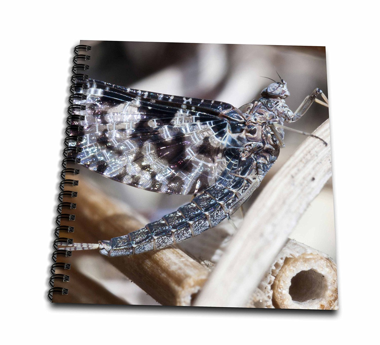 Danita Delimont - Insects - USA, Washington, Bainbridge, Mayfly insect - US48 TDR0935 - Trish Drury - Memory Book 12 x 12 inch (db_148664_2)