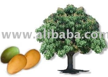 Tropical Fruit Mangoes green/yellow