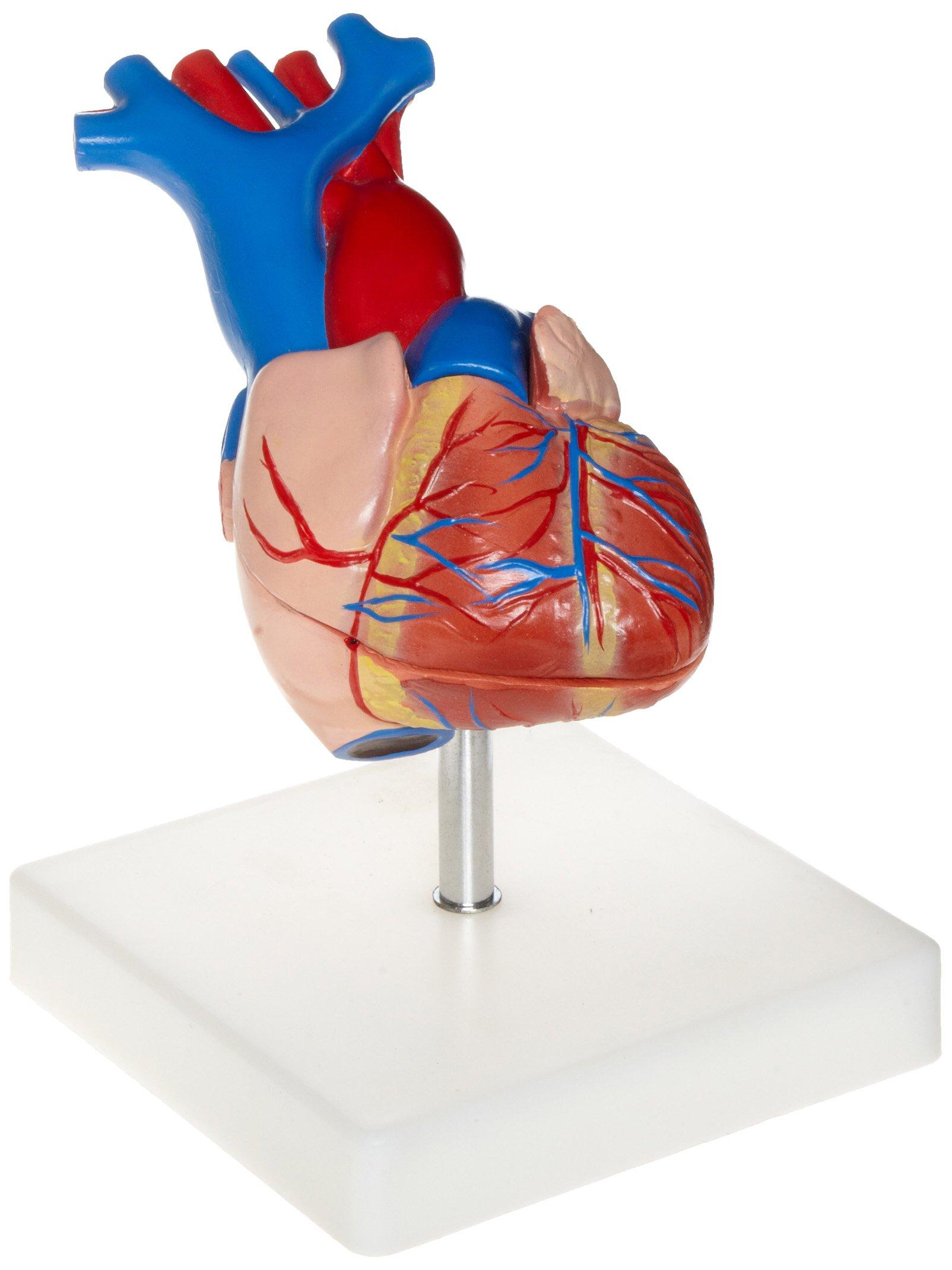 Cheap Human Heart 3d Model, find Human Heart 3d Model deals on line ...