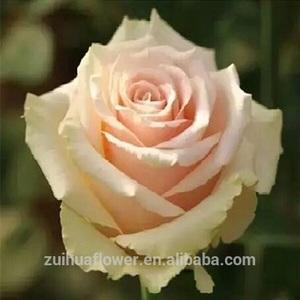 China Like Rose Wholesale Alibaba