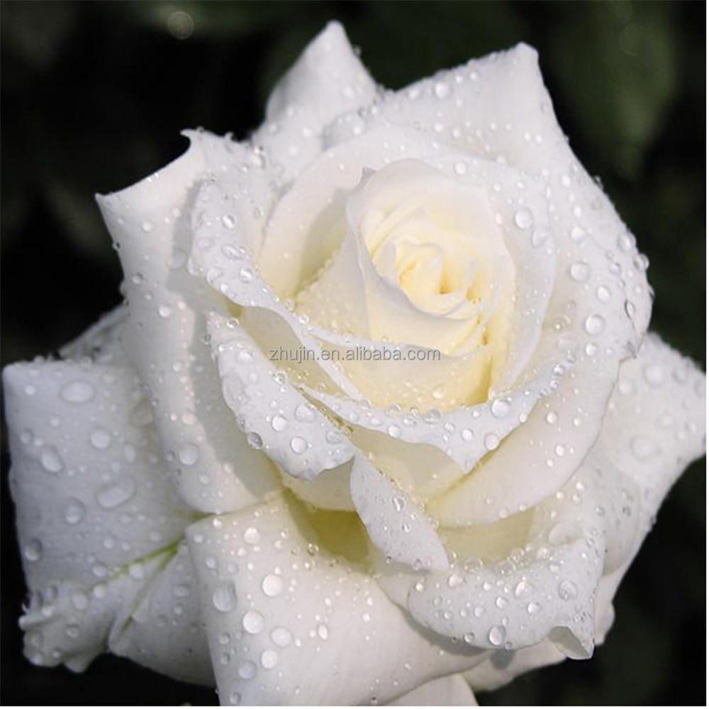 Flower White Rose DIY 5D Diamond Embroidery Crafts kits