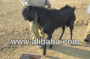 Beetal Goat Wholesale, Goat Suppliers - Alibaba