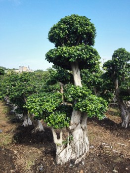 Woody Large Indoor Plants For Sale - Buy Natural Ficus,Big Banyan ...