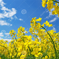 high oil content rapeseeds/canola seeds from KAZAKHSTAN with high quality and best price