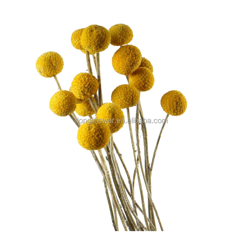 Craspedia Billy Balls Billy Buttons Dried Yellow Gold Fruit Buy