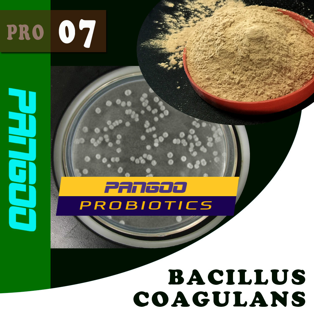 PANGOO PRO-07 BACILLUS COAGULANS/BACILLUS/feed additives/FEED PROBIOTICS