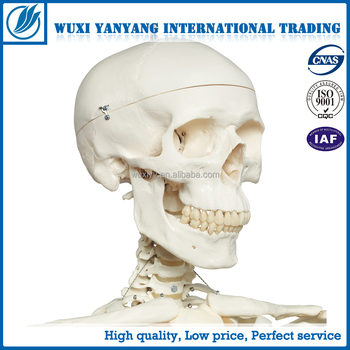 Medical Life Size Real Human Skeleton For Sale 180cm - Buy Medical Life  Size Real,Human Skeleton For Sale 180cm Product on Alibaba com