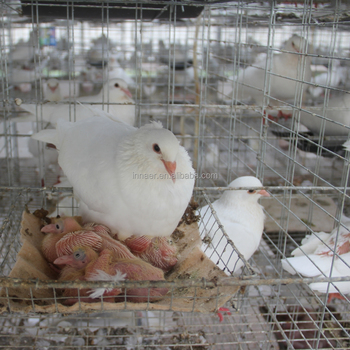 Qatar Poultry Farm 2m 4 Tier Pigeon Breeding Cage Buy Racing Pigeon Cage Wire Mesh Pigeon Cage Breeding Cage For Pigeon Product On Alibaba Com