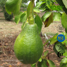 Avocado Alligator pear Persea americana Mill. Extract Powder Raw Materials Ratio 4:1 10:1 20:1 Pure Natural