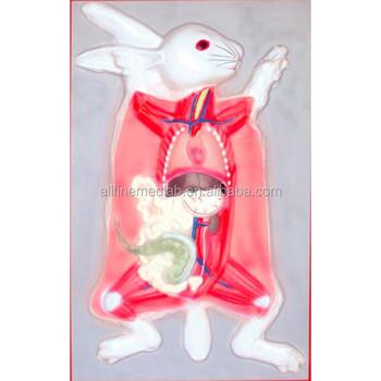 Para La Enseñanza De Anatomía Modelo - Buy Conejo Anatomía Modelo ...