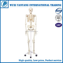 4D MASTER Artificial Human bone skeleton structure anatomy model