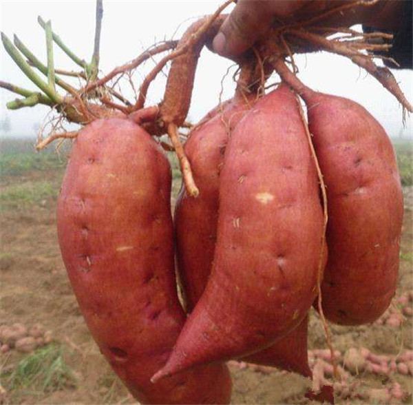 high quality fresh sweet potato from China sweet potato factory supplier