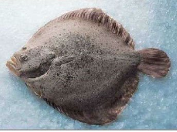 Turbot frozen fish buy fish product on for Turbot fish price