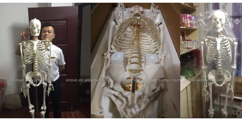 Süper Eylül SATıŞ 12361 170 cm Yaşam Boyutu Adam İnsan Anatomisi Anatomisi İskelet Tıbbi Öğretmek Modeli, Tıbbi Anatomik Modeli