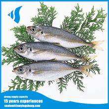 Frozen horse mackerel round scad fish for Canned food