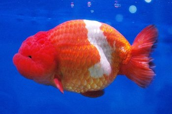 Thai side view ranchu goldfish buy goldfish aquarium for Koi fish eggs for sale