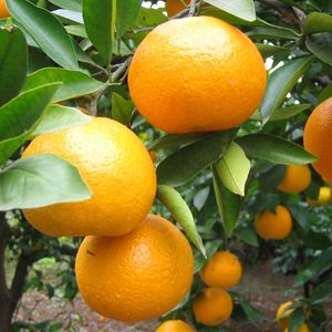 S614 Ju zi High Quality Sweet Honey Orange Seeds For Sale