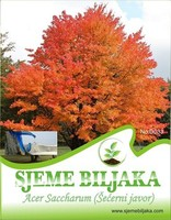 Acer Saccharum (Sugar Maple) - 5 seeds