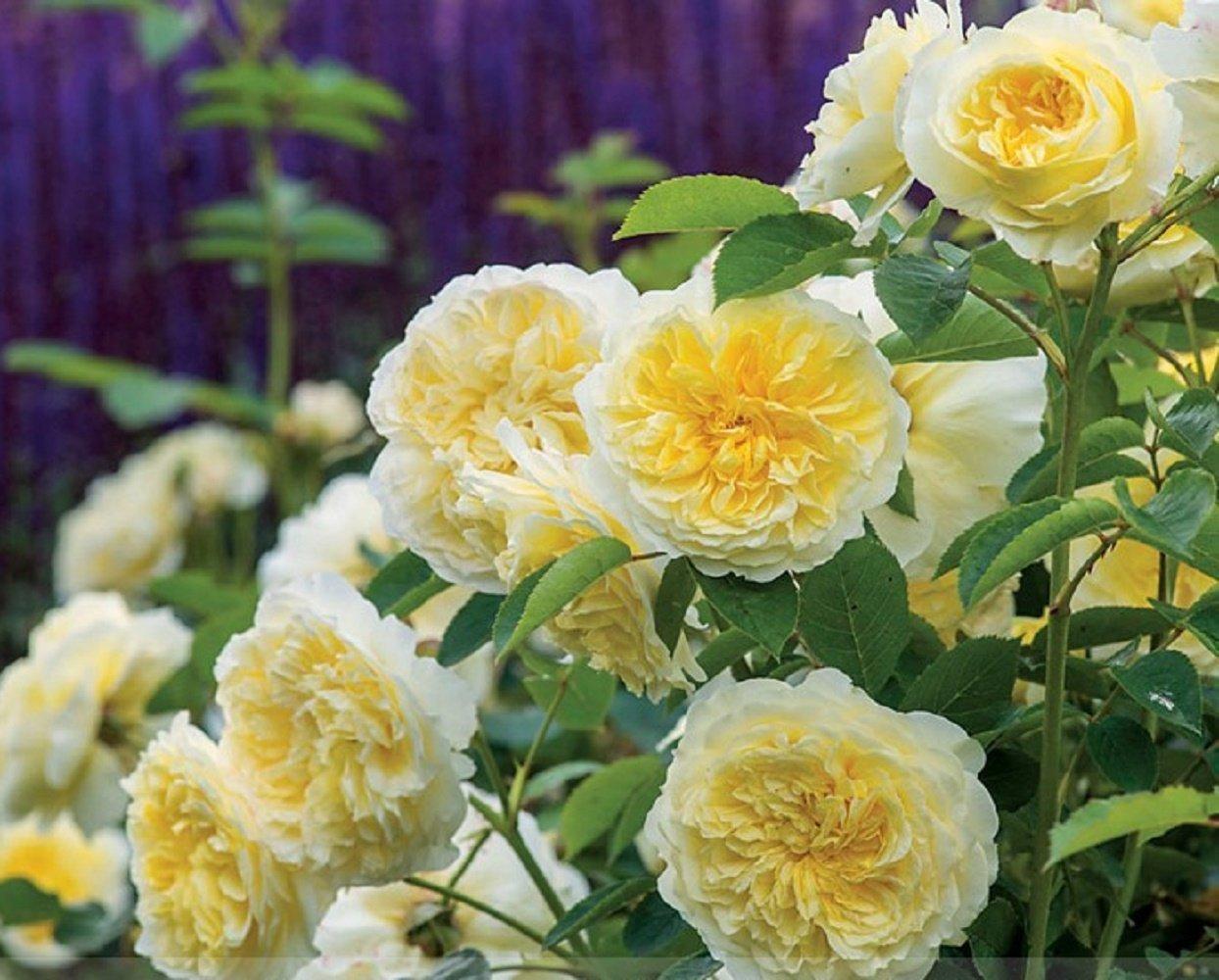 Buy Heirloom Pilgrim Fragrant Yellow Climbing Rose Shrub Seeds