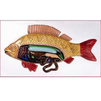 School Fish Anatomy Model For Biology Teaching/learning - Buy Fish ...