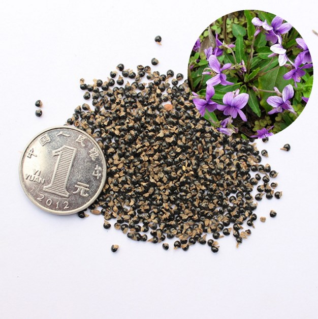 Bulk Ornamental Flower Seeds chinese violet seeds