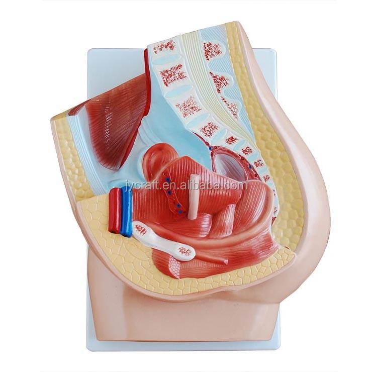 Finden Sie Hohe Qualität Weibliche Anatomie Modell Hersteller und ...