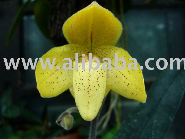 Paphiopedilum concolor Orchids Species Plants