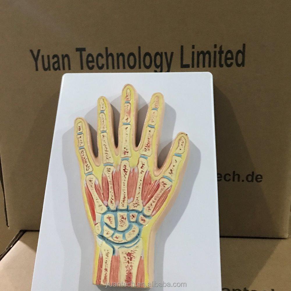 Human Hand Anatomy, Human Hand Anatomy Suppliers and Manufacturers ...