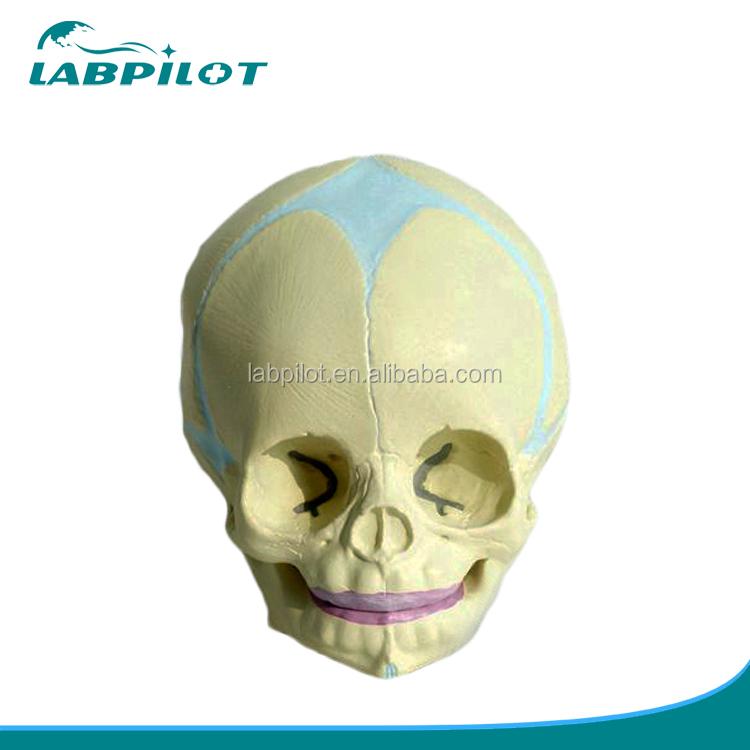 30 Weeks Fetal Skull Model,Anatomy Skull Model - Buy Infant Skull ...