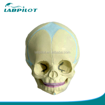 30 Weeks Fetal Skull Modelanatomy Skull Model Buy Infant Skull