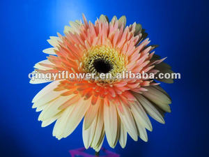 Export wholesale Fresh cut Flowers Decorative Flowers Gerbera Flower