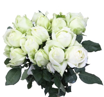 scientific names of fresh cut white roses flowers importers flowering plants farm